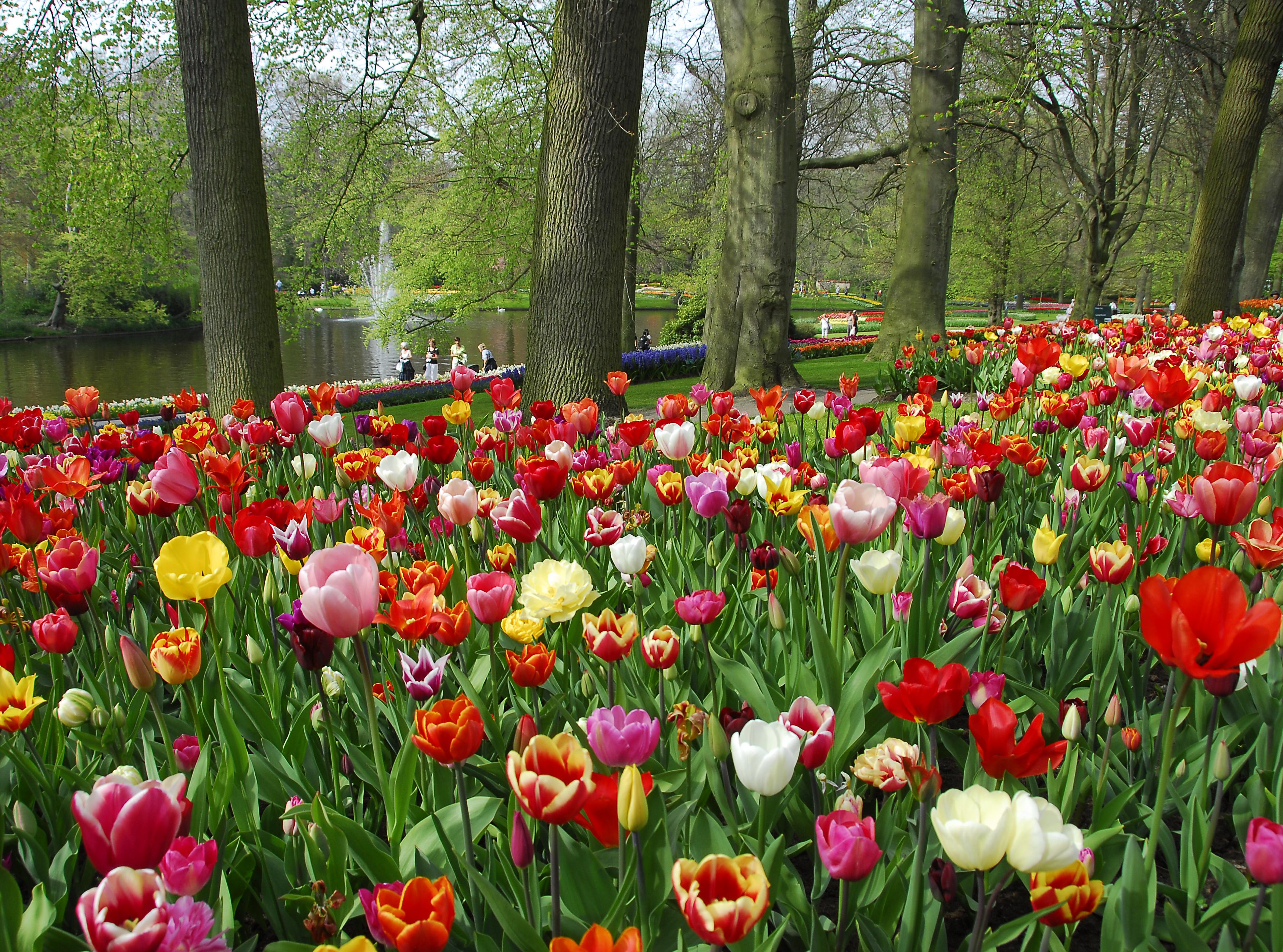 Keukenhof abierto turismo de holanda - Jardines de tulipanes en holanda ...